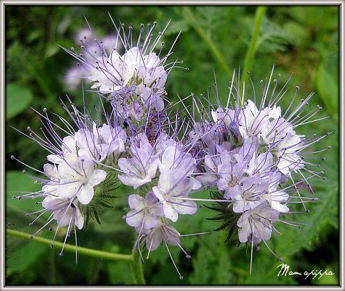 Teder lila